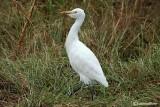 Airone guardabuoi-Cattle Egret  (Bubulcus ibis)