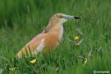 Sgarza ciuffetto-Squacco Heron  (Ardeola ralloides)