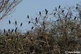 Oldenico-colonia di cormorani