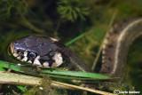 Natrice dal collare -Grass Snake (Natrix natrix)