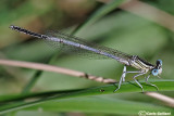 Platycnemis latipes male