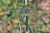 Anax parthenope male