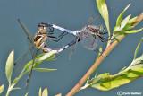 Orthetrum albistylum mating