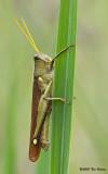Obscura Bird Grasshopper