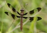 Common Whitetail ♀