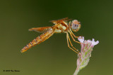 Eastern Amberwing ♀