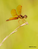 Eastern Amberwing ♂