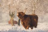 Highland cattle - Schotse hooglander