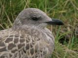Lesser Black-backed Gull, Ailsa Craig, Ayrshire
