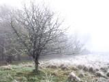 Crab apple tree, Loch Lomond NNR