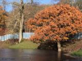 Oak tree at Carbarns