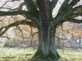 Old oak tree on Easterbraes field