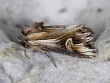 2988   Actinotia polyodon  8959.jpg