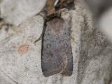 3017   Protolampra sobrina  6016.jpg