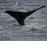 Whale tail and gull