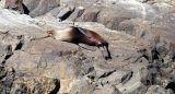 Fur Seal resting