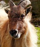 Thar (goat)