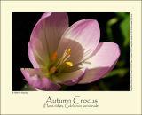 Autumn Crocus (Høst-tidløs / Colchicum autumnale)