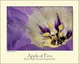 Apple of Peru (Kantbæger / Nicandra physalodes)