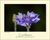 Cornflower (Kornblomst / Centaurea cyanus)