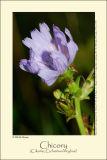 Chicory (Cikorie / Cichorium intybus)