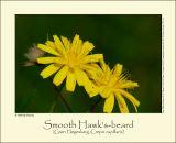 Smooth Hawk's-beard (Grøn Høgeskæg / Crepis capillaris)