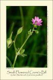 Small-Flowered Crane's Bill (Liden Storkenæb / Geranium pusillum)