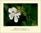 White Campion (Aften-Pragtstjerne / Silene latifolia ssp. alba)