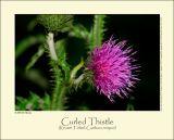 Curled Thistle (Kruset Tidsel / Carduus crispus)