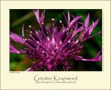 Greater Knapweed (Stor Knopurt / Centaurea scabiosa)