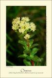 Orpine (Alm. Sankhansurt / Sedum telephium ssp. maximum)