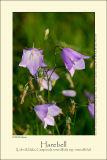 Harebell (Liden Klokke / Campanula rotundifolia)