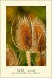 Wild teasel (Gærde-Kartebolle / Dipsacus fullonum)
