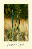 Broadleaf Cattail (Bredbladet Dunhammer / Typha litifolia)