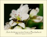 Buckwheat (Boghvede / Fagopyrum esculentum)