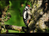 Great Spotted Woodpecker (Stor Flagspætte / Dendrocopos major)