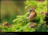 Chaffinch (Bogfinke / Fringilla coelebs)