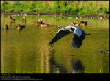 Grey heron (Fiskehejre / Ardea cinerea)