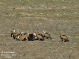 Vultures around a carcass