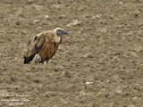 VULTURES IN THE PLAINS