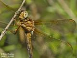 DRAGONFLIES - DAMSELFLIES