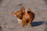 Tango male Teacup Chihuahua