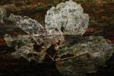 20081026 - Plastered Leaf
