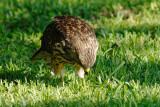 Young Hawk 03 sm.jpg