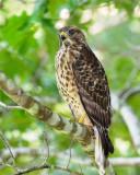 Young Hawk 13 sm.jpg