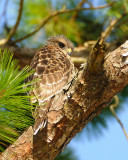 Young Red Shouldered Hawks 2008