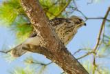 Young Hawk 30 sm.jpg