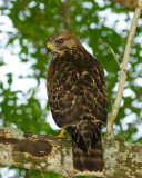 Young Hawk 38 sm.jpg