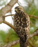 Young Hawk 41 sm.jpg