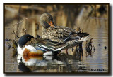 Male And Female Northern Shovelers Taking A Rest In The Refuge